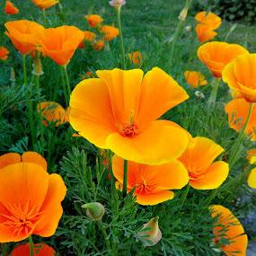 Orange Beauty by Vaibhav Nahar - Flowers Flower Gardens