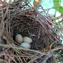 Brown thrasher, nest and eggs