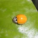 Yellow Spotless Ladybug