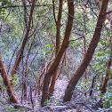 Madrone (Refrigerator Trees)