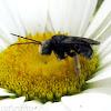 Long-horned Bee - male