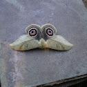 moth buho