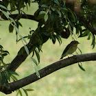 Pied Flycatcher female