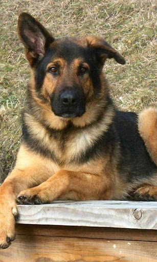 German Shepards Wallpapers