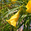 Lucky Bean, Lucky Nut, Trumpet Flower, Yellow Oleander