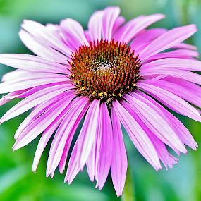 Prickly Pink by Scot Gallion - Flowers Single Flower (  )