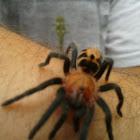 Costa Rican Suntiger Tarantula