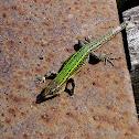 Bocage's Wall Lizard