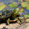 Painted Turtle (Juvenile)