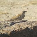 Ashy-crowned Sparrow-lark (female)