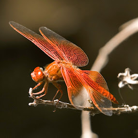 Orange Dragon by Patrick Flood - Animals Insects & Spiders ( canon, orange, macro, photosbyflood, focus, insect, dragonfly )