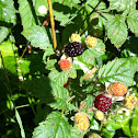 Native Trailing Blackberry
