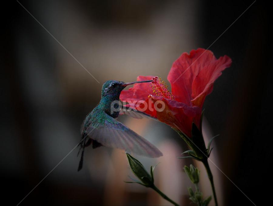hibiskiss by John Kolenberg - Animals Birds ( jardine, #garyfongdramaticlight, colibri, #wtfbobdavis, nature,  )