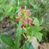 White Moneywort, Alyce Clover, One-leaf Clover