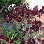 Thickleaf Aeonium, Fisiulera