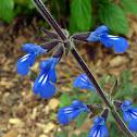 Bicolor Sage