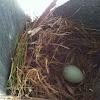 Eastern blue bird egg