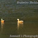 Brahminy Shelduck
