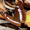 Commander ( Butterfly )