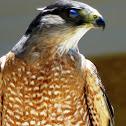 Cooper's Hawk (Male) Part 4 of 4