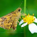 Skipper or Skipper Butterfly