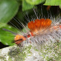 Tussock moth, caterpillar