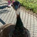Peacock- female