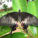 Common Mormon-Female