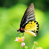 Common Birdwing (裳鳳蝶)