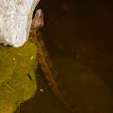 Brown watersnake