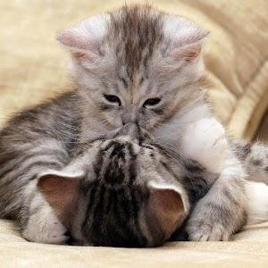 Kissanpentu taustakuvat APK