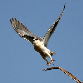 Take off by Amitava Majumder - Animals Birds ( bird, eagle, fly, white, baratpur,  )