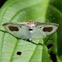 Thyridid moth