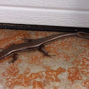 Double tailed Five-lined skink