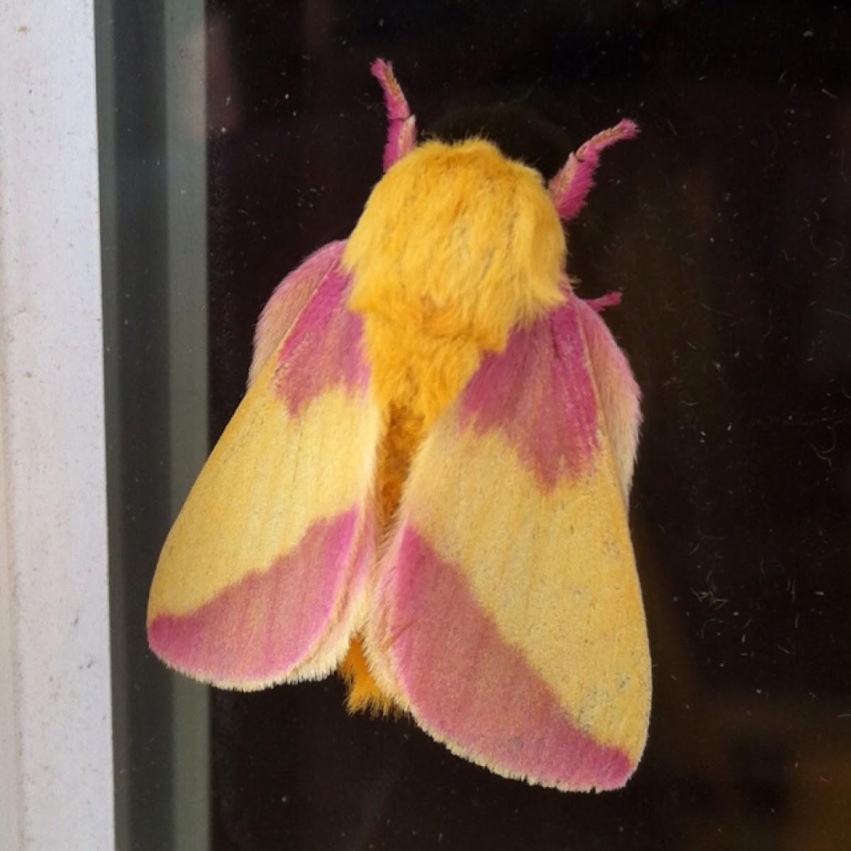 Rosy Maple Moth   Project Noah - photo#28