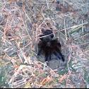 Oklahoma Brown Tarantula