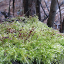 Smooth-stalk Feather-moss