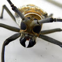 Wallace's longhorn beetle
