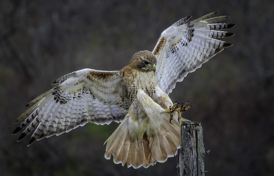 Majestic by Kathy Val - Animals Birds (  )