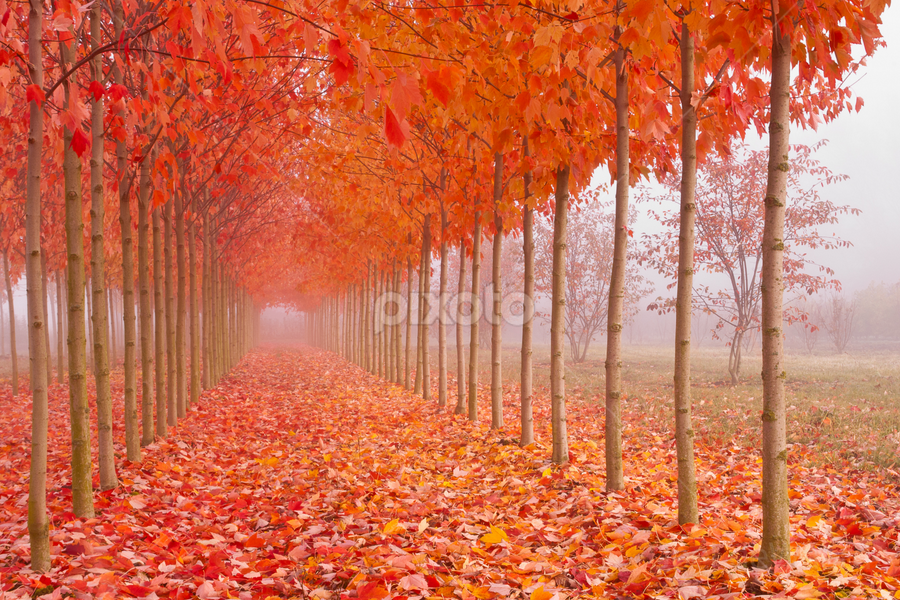 Autumn's Cathedral by Joel DeWaard - Landscapes Forests ( fall leaves on ground, autumn, fog, foliage, fall, trees, nursery, leaves )
