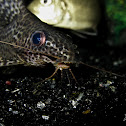 featherfin squeaker