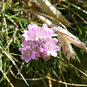Thrift (Sea Pinks)