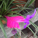 Pink Quill Bromeliad