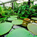 Victoria Giant Waterlily