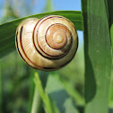 Banded Wood Snail