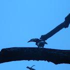 Oriental Pied Hornbill (female)