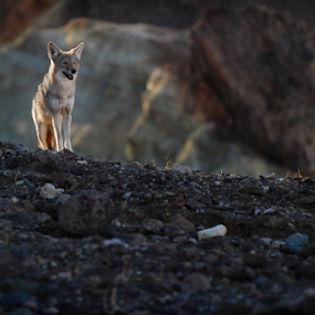 Watchful Coyote by Cliff LaPlant - Animals Other Mammals ( wild, sand, opens spaces, desert, america, california, open space, sandstone, landscape, death valley national park, usa, united states, sun, photography, united states of america, environment, nature, sunset, sierralara, sunrise, death valley, nikon, light, outside )