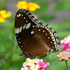 Great Eggfly or Common Eggfly ♀