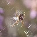 Araneid spider