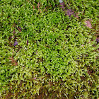 River Feather Moss